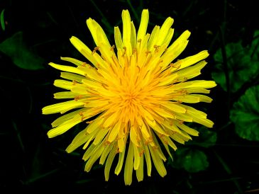 Top_view_of_a_dandelion